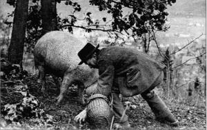 La recherche des truffes